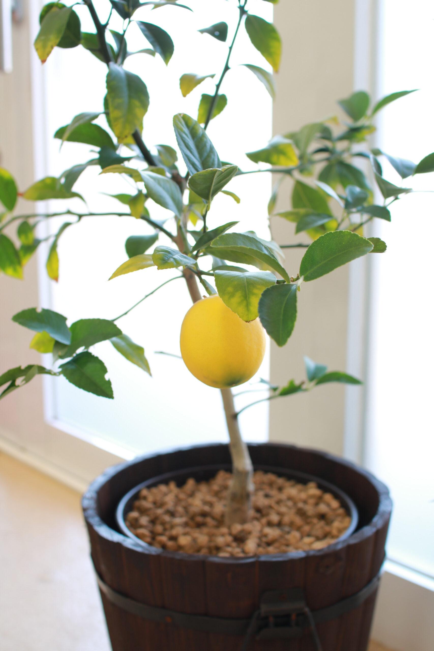 の 木 レモン 【初心者】レモンの栽培・育て方(肥料・剪定・摘果など)|【簡単】家庭菜園の始め方と初心者におすすめグッズ